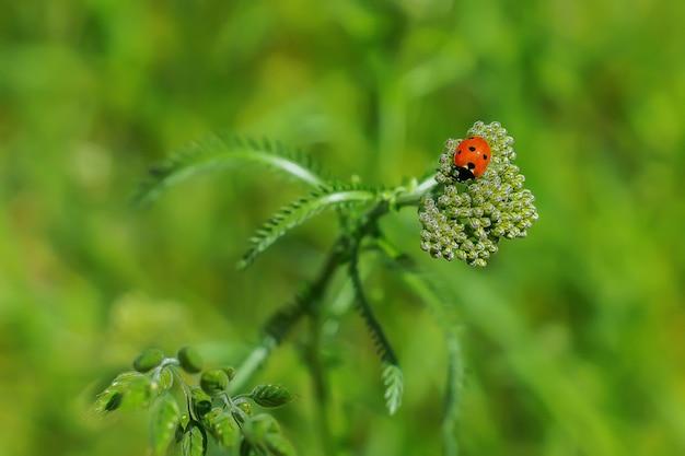 Mooi lieveheersbeestje op een bloem