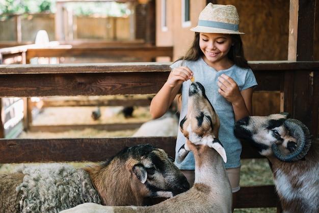 Mooi meisje die hoeden voedend voedsel dragen aan schapen in het landbouwbedrijf