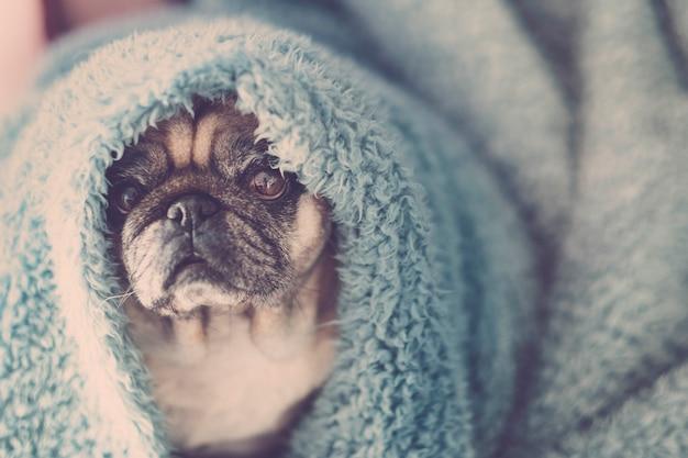Mooi mooi teder portret van oude mooie hond pug puppy met blauwe dekking op het hoofd. slapen of wakker worden in het ochtendconcept. lui en koud gevoel