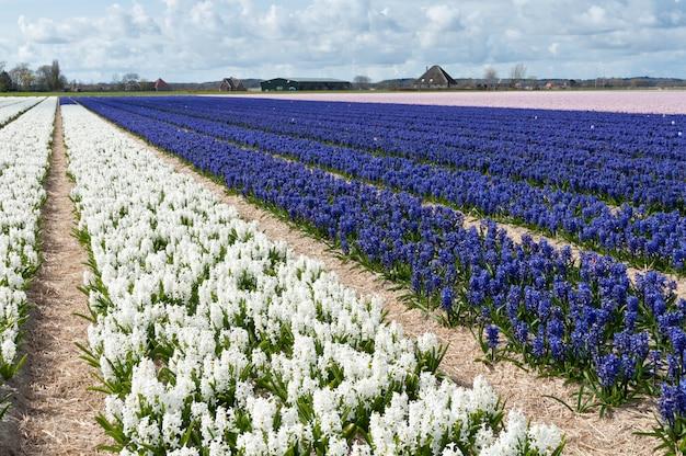 Mooi nederlands wit en blauw hyacintveld. lentebloemen, nederland (holland)