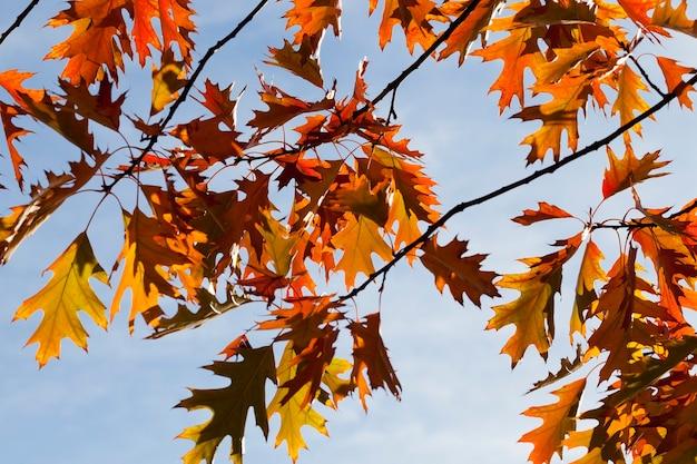 Mooi oranje en rood gebladerte van eiken tegen de blauwe lucht tijdens de herfstbladval