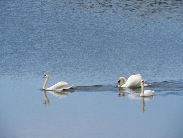 Mooi paar witte zwanen op het meer