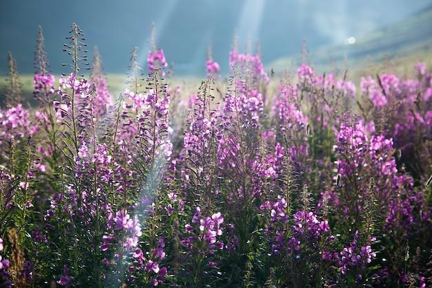 Mooi paars bloemenlandschap op de bergen