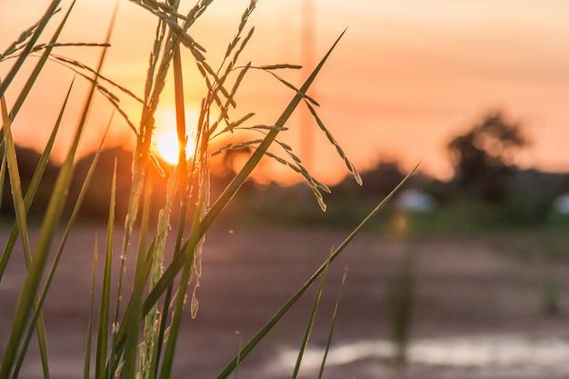 Mooi padieveld met zonlicht in de hemel voor de herfst en de zomerachtergrond