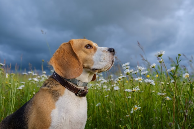 Mooi portret van een beagle-hond op een zomeravond in een weiland met witte madeliefjes