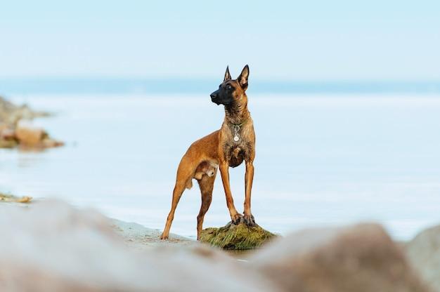 Mooi portret van een hond van het ras malinois. de hond staat op een steen tegen de achtergrond van de zee