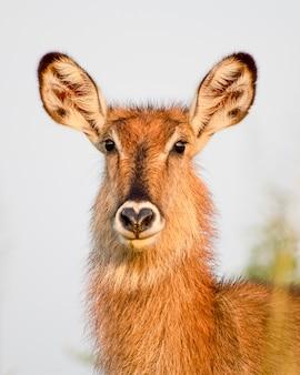 Mooi portret van een jonge waterbuck murchison falls national park oeganda afrika