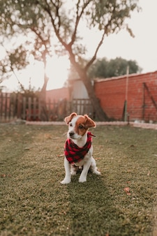 Mooi portret van stijlvolle hond met rode en zwarte plaid bandana zittend op het gras bij zonsondergang