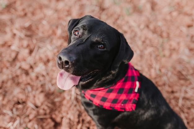 Mooi portret van stijlvolle zwarte labrador hond met rode en zwarte plaid bandana zittend op de grond