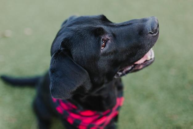 Mooi portret van stijlvolle zwarte labrador hond met rode en zwarte plaid bandana zittend op het gras