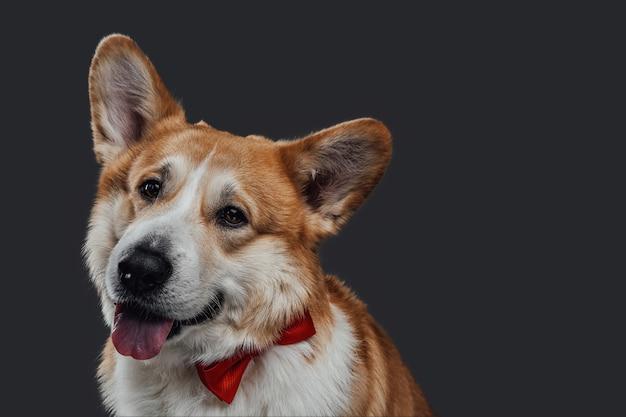 Mooi professioneel portret van een gember volwassen welsh corgi hond met rode vlinder zit op zwarte achtergrond.
