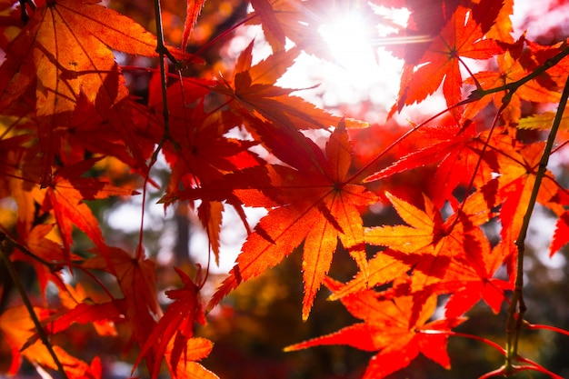 Mooi rood esdoornblad met zonlicht op de boom.