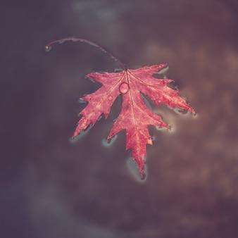 Mooi rood marple blad met regendruppels erop drijft op het oppervlak van het water.