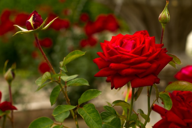 Mooi roze rozenclose-up op groene natuurlijke achtergrond