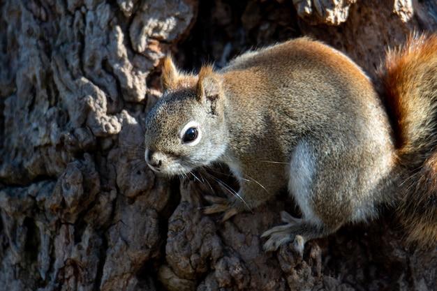 Mooi schot van de bruine eekhoorn in het bos
