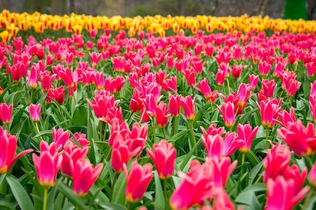 Mooi schot van de kleurrijke tulpen in het veld op een zonnige dag