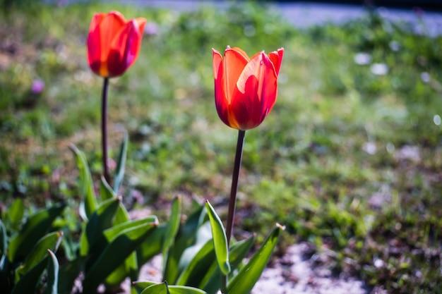 Mooi schot van de rode tulpenbloemen in de tuin