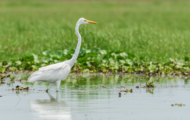 Mooi schot van de vogel van de grote zilverreiger in het chilika-meer in odisha, india