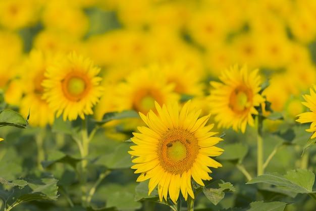Mooi schot van de zonnebloemen in het veld