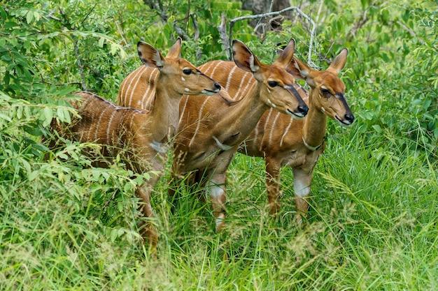 Mooi schot van drie bongo-antilopen die zich op een grasgrond bevinden