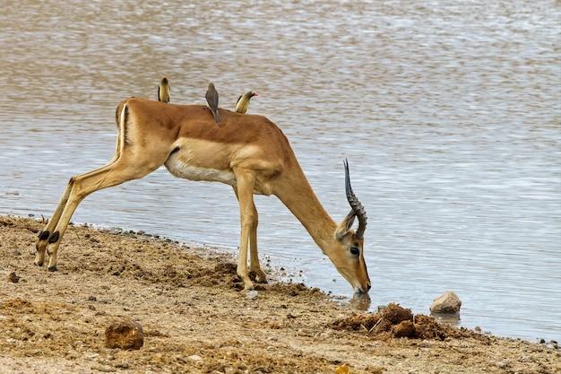 Mooi schot van een antilope die water op het meer drinkt terwijl oxpeckervogels op zijn rug berijden