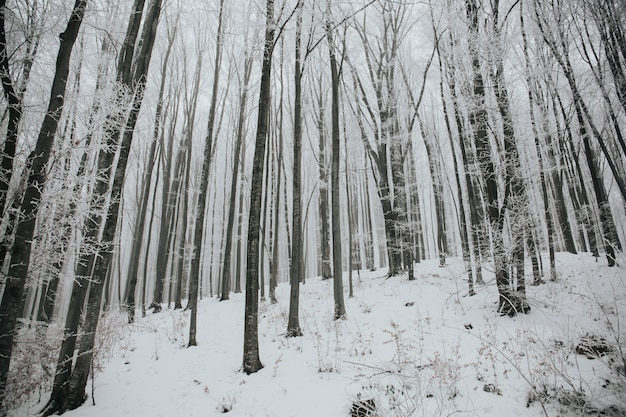 Mooi schot van een bos met hoge kale bomen bedekt met sneeuw in een bos