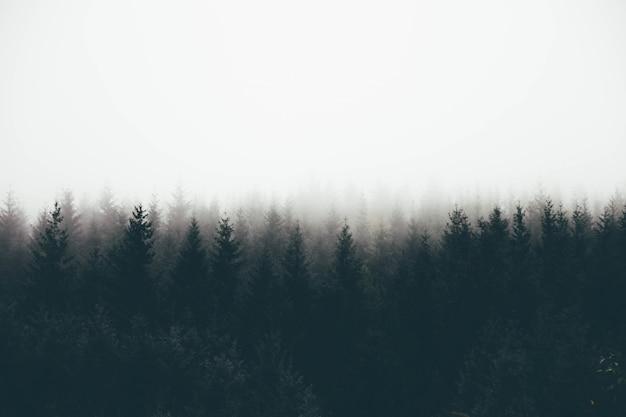 Mooi schot van een dik bos in mist met pijnbomen en witte ruimte voor tekst