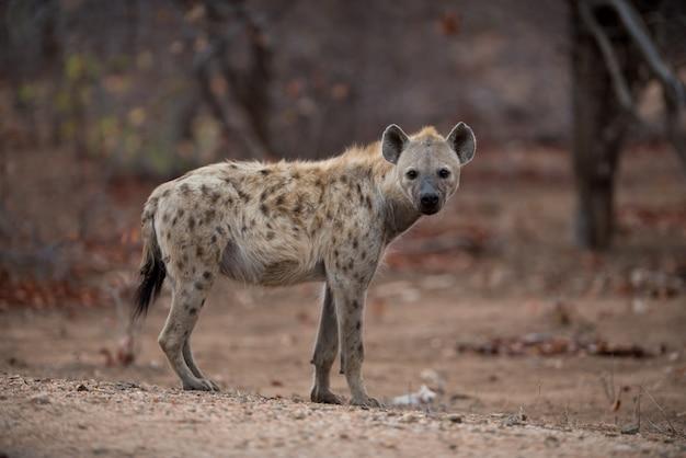 Mooi schot van een gevlekte hyena die op de grond staat