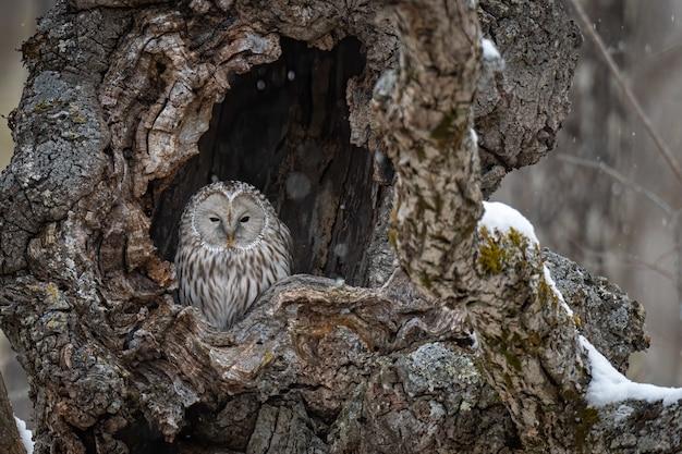 Mooi schot van een grote grijze uil die in een boom rust