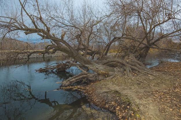 Mooi schot van een grote oude boom gevallen in het meer met zijn wortels nog steeds