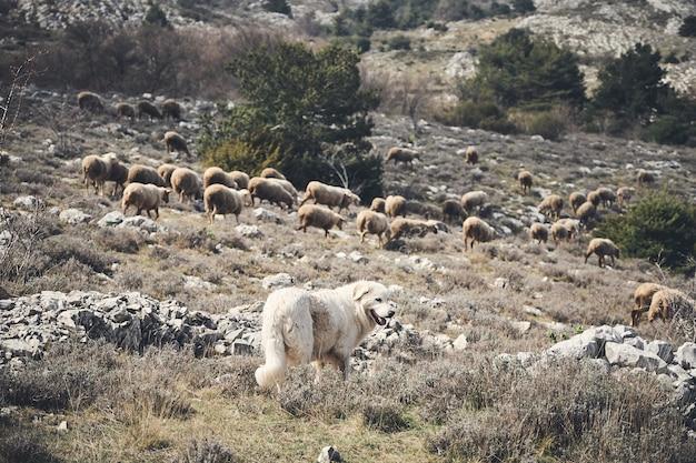 Mooi schot van een hond en een kudde schapen in het achterland van de franse rivièra