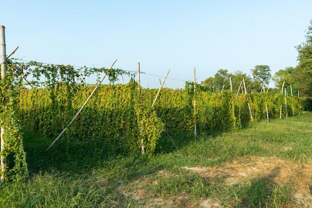 Mooi schot van een landbouwwijnstokgebied met een duidelijke blauwe hemel