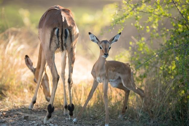 Mooi schot van een moederantilope die grassen eet met een waakzaam gezicht van babyantilope