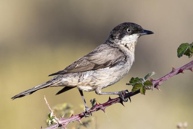 Mooi schot van een orphean-grasmusvogel die op een tak in het bos wordt neergestreken