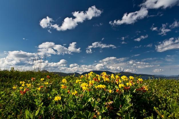 Mooi schot van een veld vol met verschillende soorten wilde bloemen in de lofoten, noorwegen