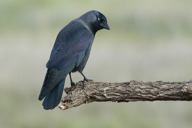 Mooi schot van een westelijke kauwvogel die op een tak in het bos wordt neergestreken