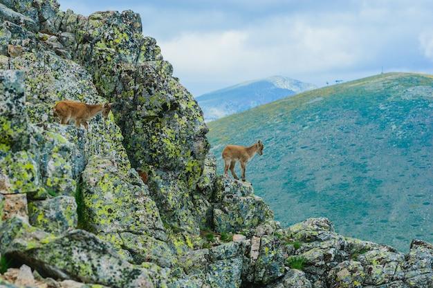 Mooi schot van een witstaarthert in rotsachtige bergen