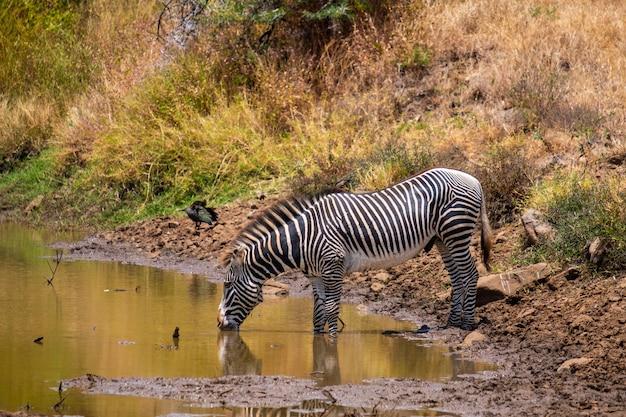 Mooi schot van een zebra drinkwater uit een vijver gevangen in kenia, nairobi, samburu