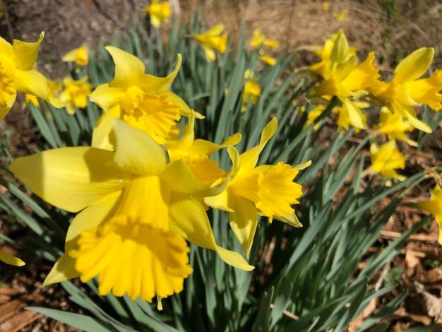 Mooi schot van gele narcissenbloemen in het gebied op een zonnige dag