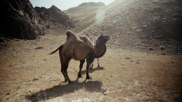 Mooi schot van twee kamelen in woestijn op een zonnige dag