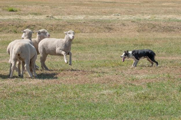 Mooi schot van witte schapen die met een hond in het grasgebied spelen