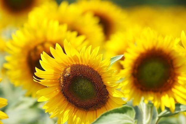 Mooi schot van zonnebloemen in het veld op een zonnige dag