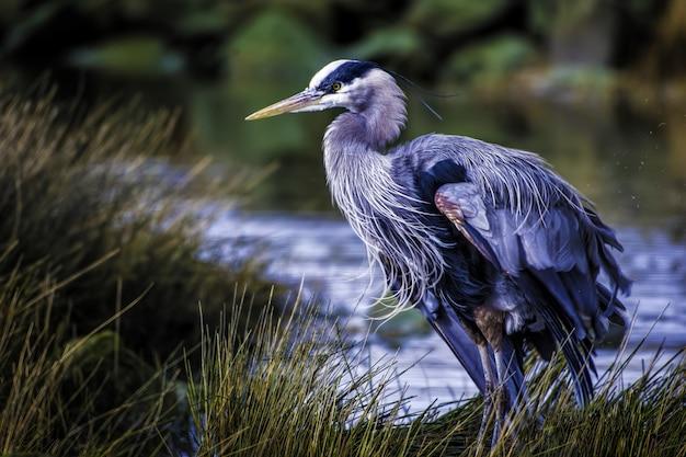 Mooi shot van een blauwe reiger met kleurrijke veren in de buurt van het meer