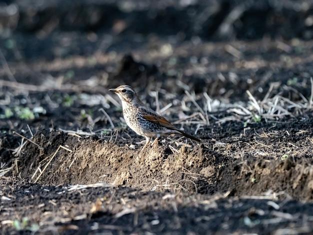 Mooi shot van een dusky thrush-vogel op de grond in het veld in japan