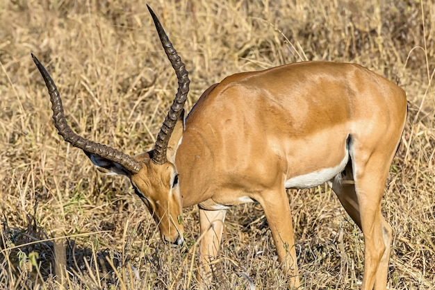 Mooi shot van een mannelijke impala in de velden