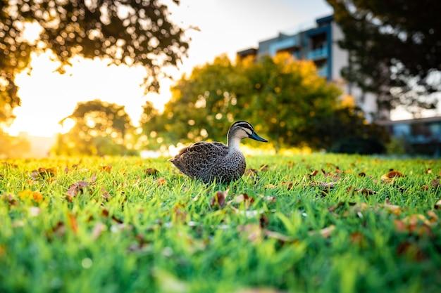 Mooi shot van een schattige wilde eend die op een gras loopt