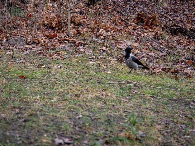 Mooi shot van een zwart en grijs gekleurde duif in het bos in de herfst