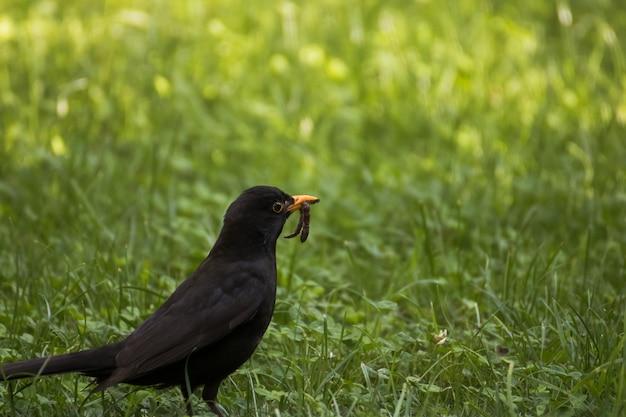 Mooi shot van een zwarte vogel die op de grond staat met een worm in zijn bek