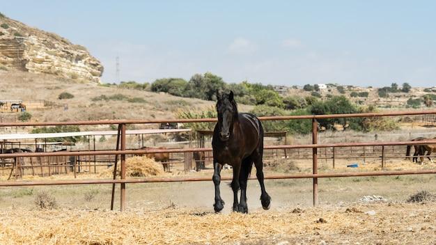 Mooi sierlijk zwart paard op een boerderij van cyprus 2020