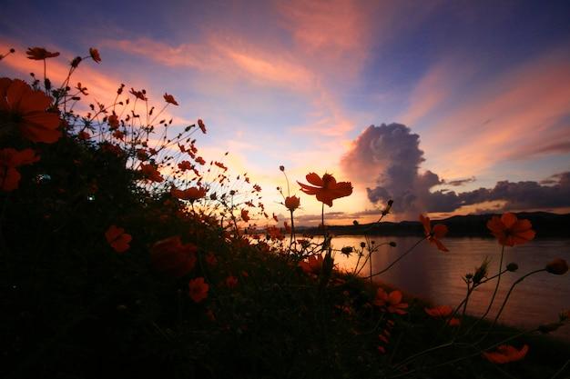 Mooi silhouet van zwavelkosmos of geel kosmosbloemengebied in schemeringzonsondergang dichtbij rivieroever.